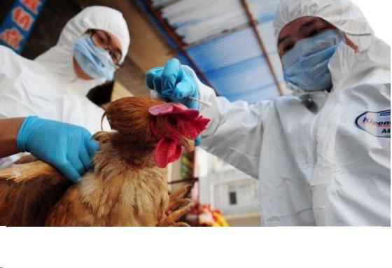 """H7N9肆虐 是""""天灾""""?还是""""人祸""""?"""